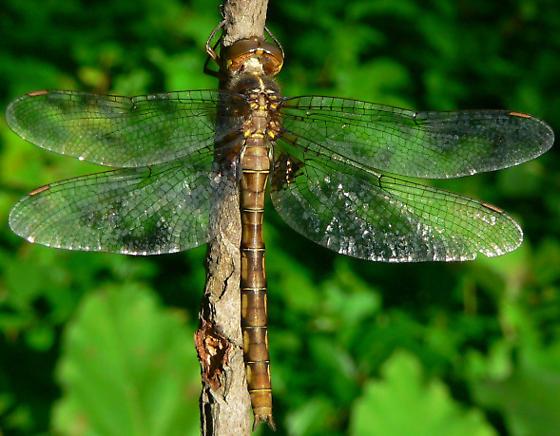 Stygian Shadowdragon - Neurocordulia yamaskanensis - female