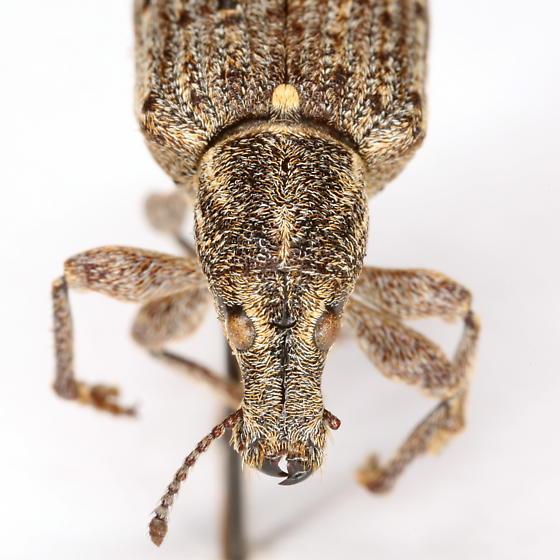 Ithycerus noveboracensis (Forster) - Ithycerus noveboracensis