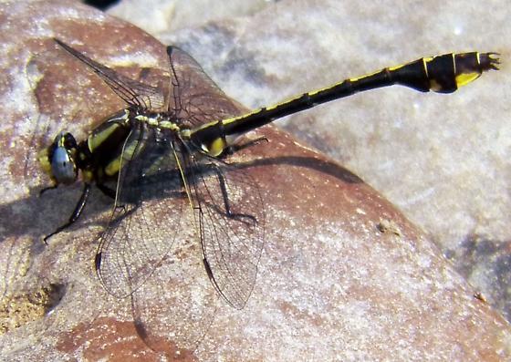 Lttle Lee Dragonfly ? - Gomphurus ozarkensis