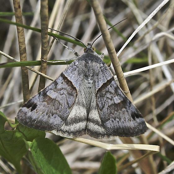 Caenurgina erechtea - Caenurgina crassiuscula