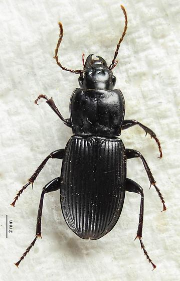 Ground Beetle.. - Pterostichus