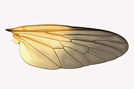 Robber Fly - Eudioctria propinqua - male