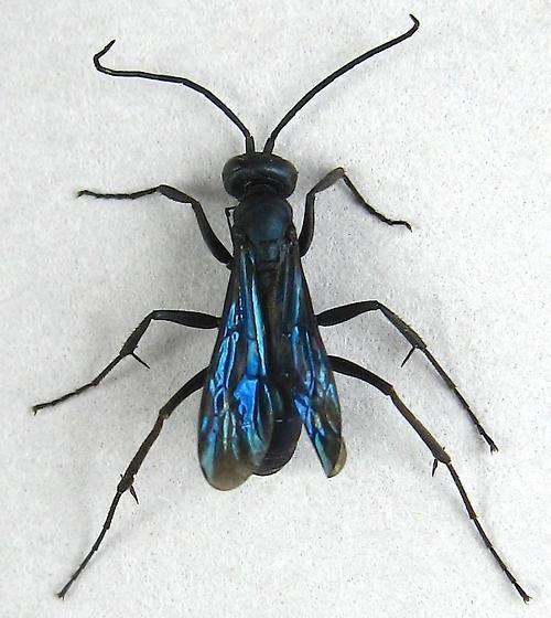 Spider Wasp - Ageniella