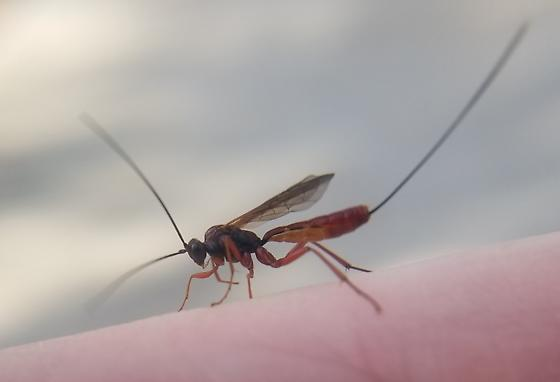 Wasp with lengthy ovipositor - female