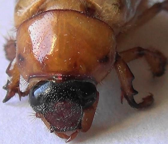 Masked Chafer with Scoop Snout - Cyclocephala - male