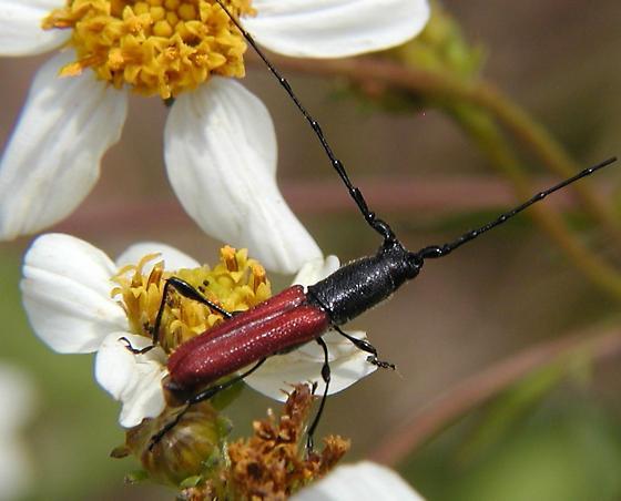 Long horned Beetle - Ancylocera bicolor - male