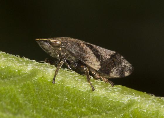 Planthopper  - Lepyronia