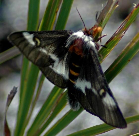 Lepidopteran in Florida Scrub - Hemileuca maia