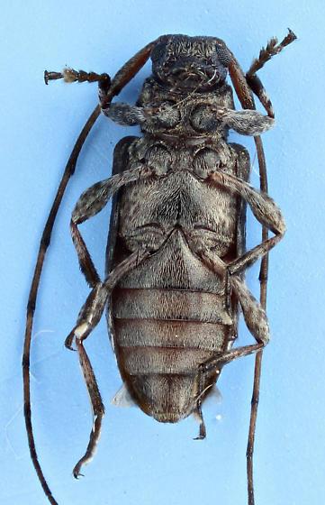 pretty little long horn - Sternidius alpha