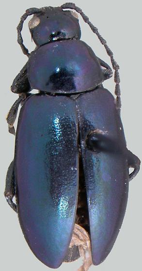 Altica chalybea
