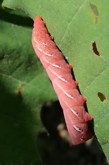 Pink larvae - Eumorpha fasciatus