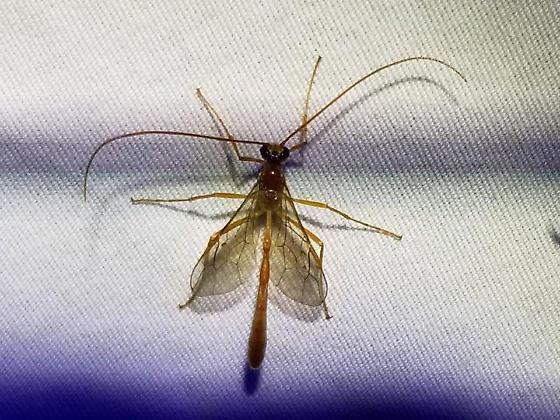 cc wasp - Enicospilus