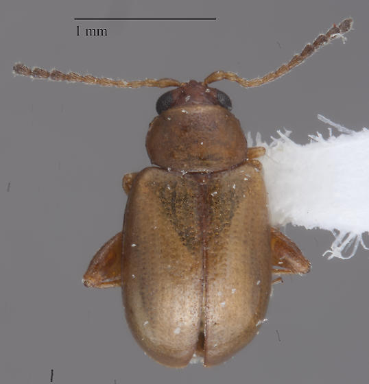 Chrysomelidae - Aphthona