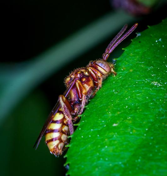 Some kind of wasp or bee - Nomada - female