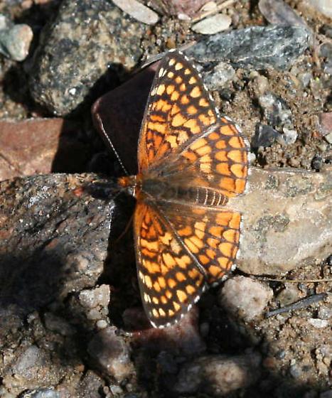 Checkerspot - Chlosyne acastus - male