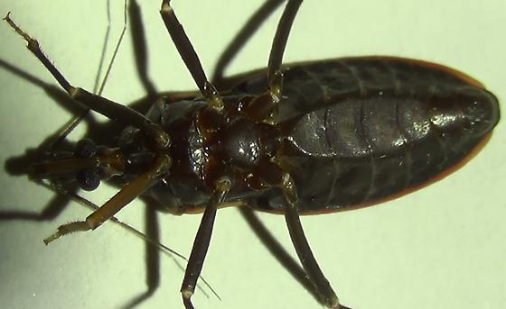 Sexing a Bloodsucking Conenose Bug (flat bottom) - Triatoma rubida - male