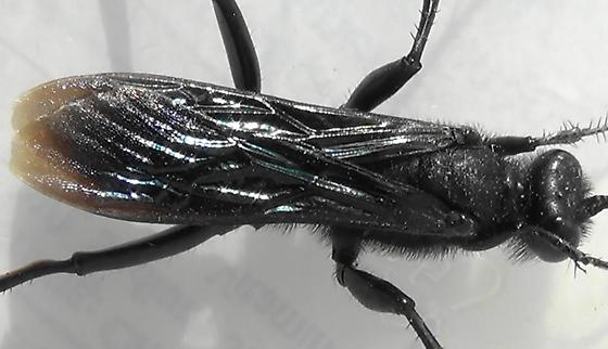 Thread-waisted Wasp Segmented (wings) - Prionyx - male