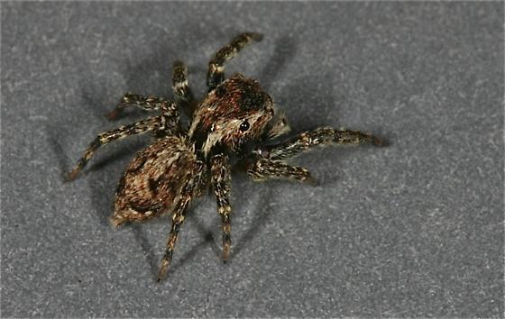 Jumping Spider - Mexigonus morosus - female