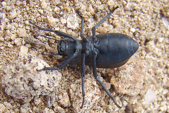 Carved Darkling Beetle - Stenomorpha species undescribed - Stenomorpha