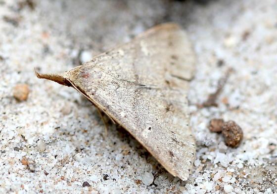 Litter Moth - Renia discoloralis - female