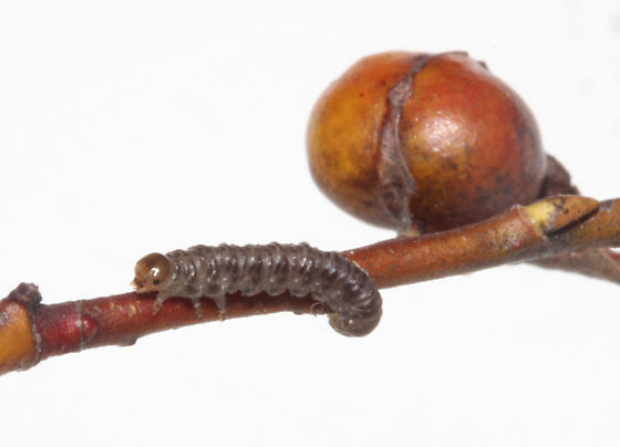 Tenthredinidae, larva out of Willow gall - Pontania - female