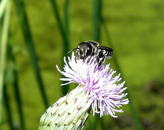 Black And White Bee - Megachile