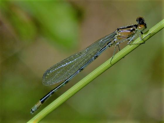 Damselfly - Enallagma geminatum - male