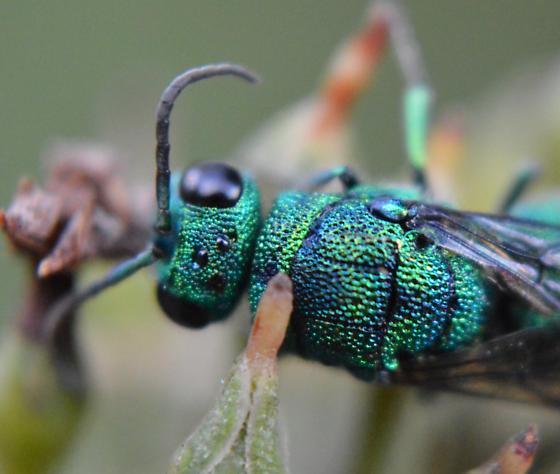 Cuckoo Wasp - Chrysis - female