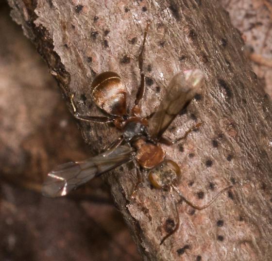 Ant? - Dipogon