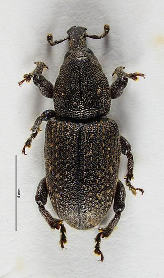 Weevil of sorts... - Pachylobius picivorus