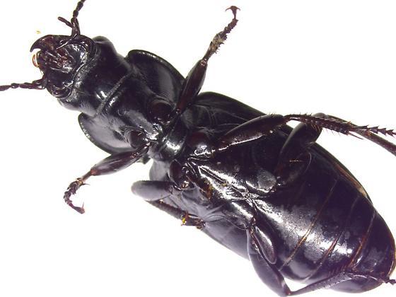 Pterostichus melanarius? - Pterostichus melanarius