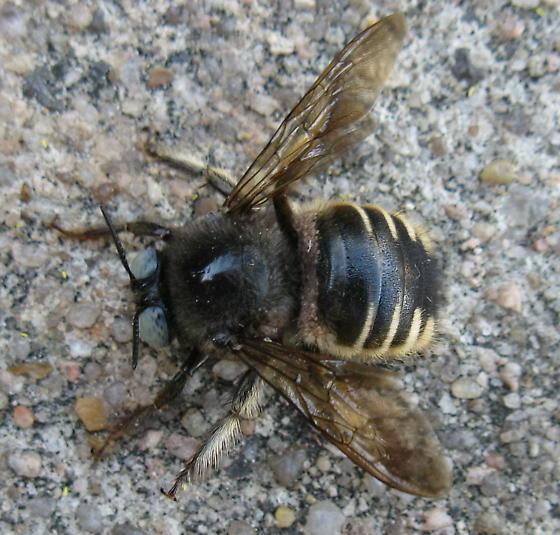Bee with mites? - Xylocopa tabaniformis - male