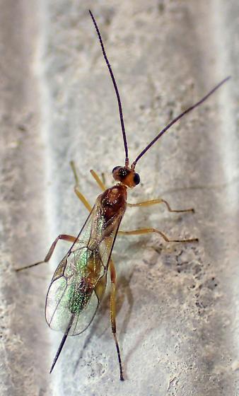 Urban ichneumonoid - Meteorus - female