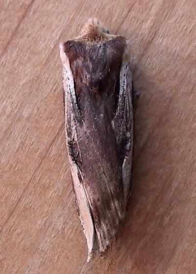 Noctuidae: Xylena curvimacula - Xylena curvimacula
