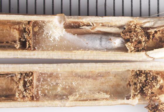 Braconidae, Cheloninae