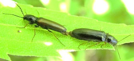 elaterid 2 - Oestodes tenuicollis - male - female