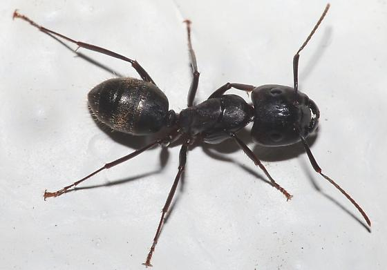 big black ant - photo #7