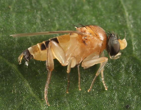 Phorid - Apocephalus - male
