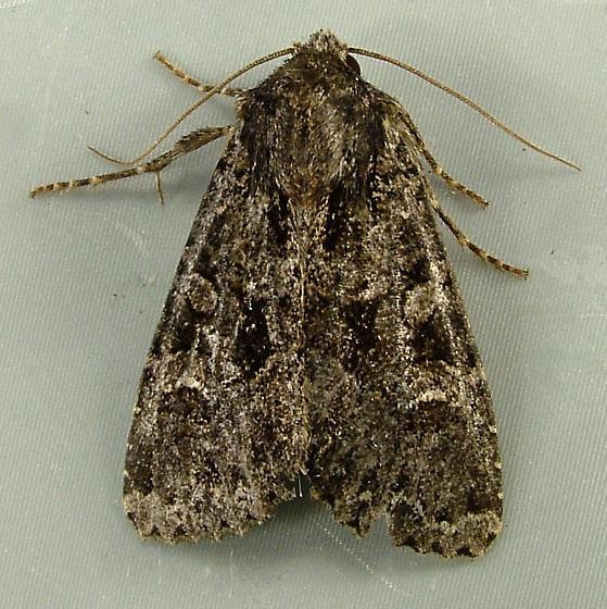 Apamea remissa (or indocilis)- Dusky Brocade Moth 9362 - Apamea indocilis