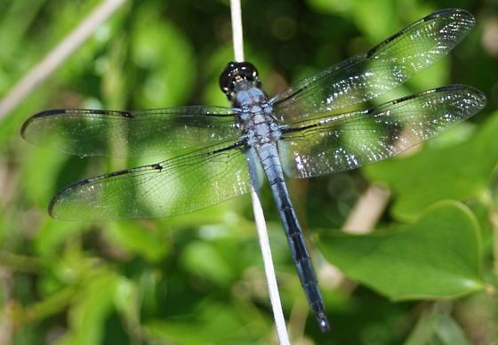 Bar Winged Skimmer - Libellula axilena - male