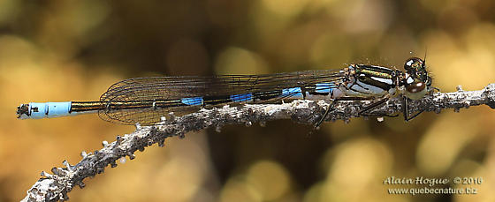 Zygoptera - Coenagrion resolutum - male