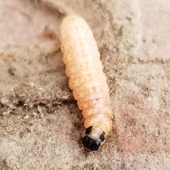 Larvae between bricks