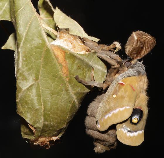 Polyphemus, fresh adult on cocoon - Antheraea polyphemus - male