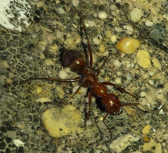Camponotus - Formica dolosa