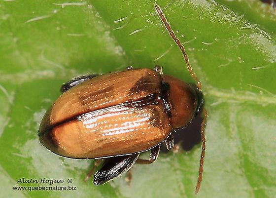 Unknown - Psylliodes affinis