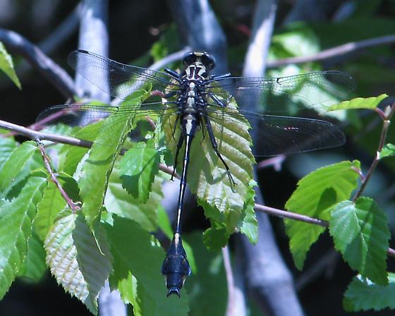 Gomphid - Gomphurus dilatatus - male