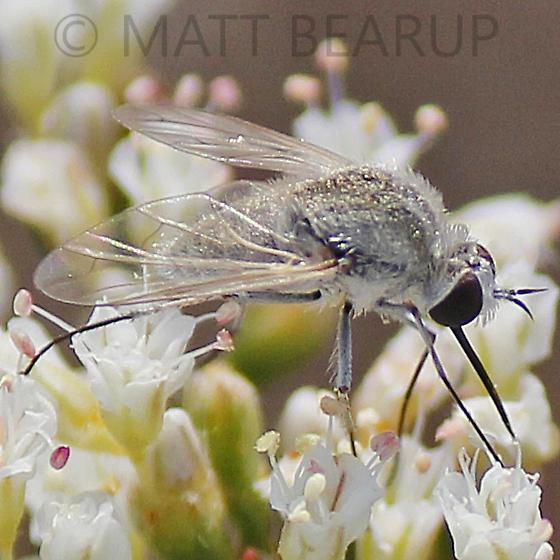 Tiny Bee Fly - Geron