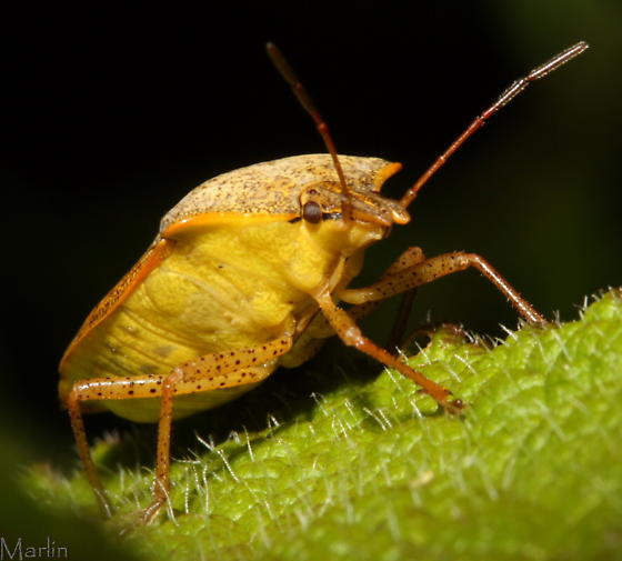 Brown Stinkbug - Euschistus servus