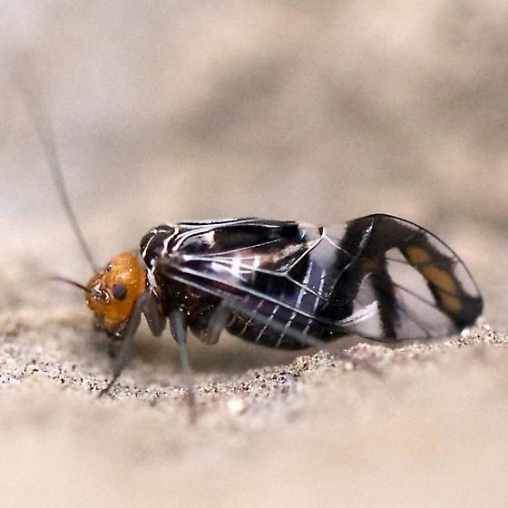 Winged Insect - Cerastipsocus trifasciatus