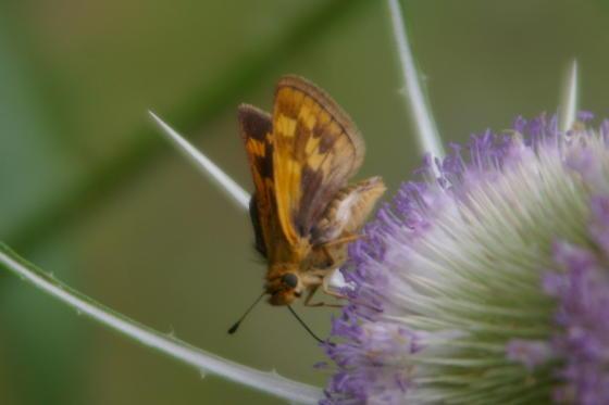 Unknown Skipper? - Hesperia leonardus